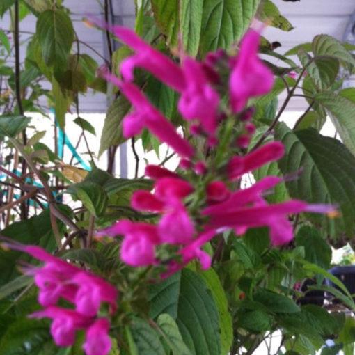 Big Leaf Mexican Sage