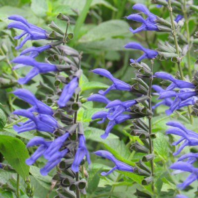 Blue Anise Sage