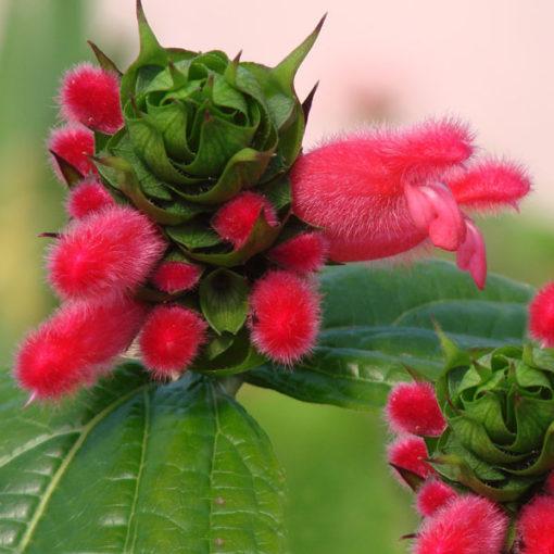 Bolivian Spearhead Sage
