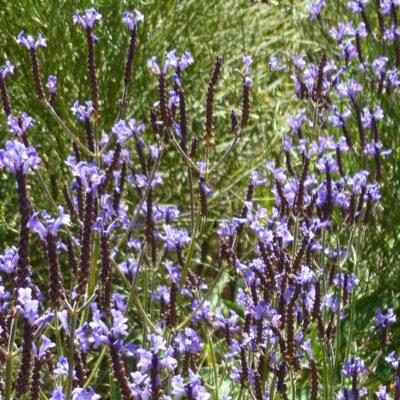 Lavender Canary Island Sage