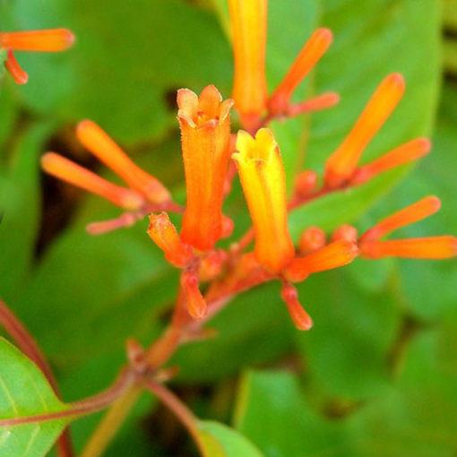 Garden Bush: Hamelia Firebush