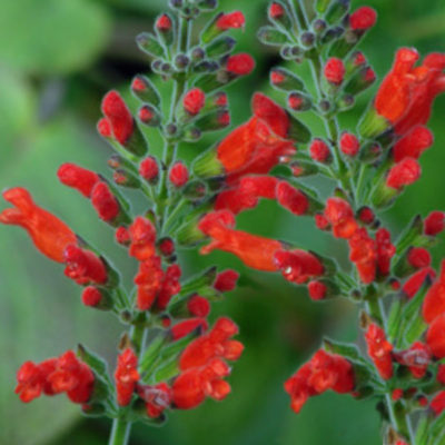 Oaxaca Red Sage