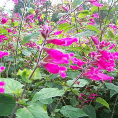 Rosebud Hybrid Sage