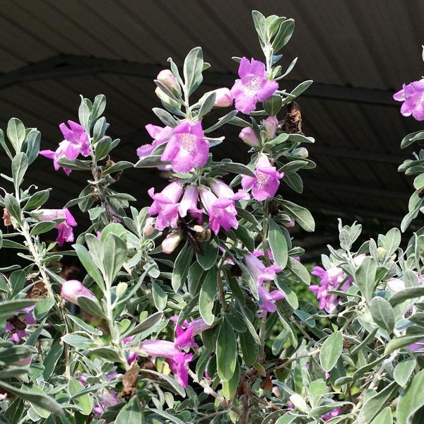 Leucophyllum texas silverleaf vincent gardens for Silverleaf com