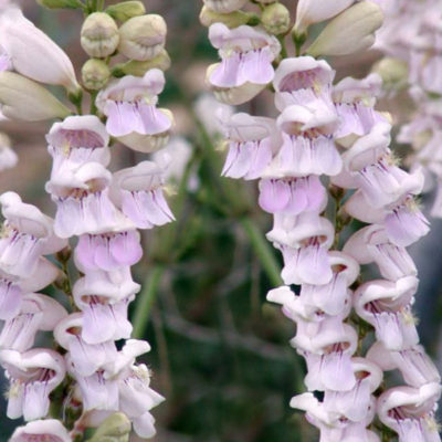 Southern Beardtongue
