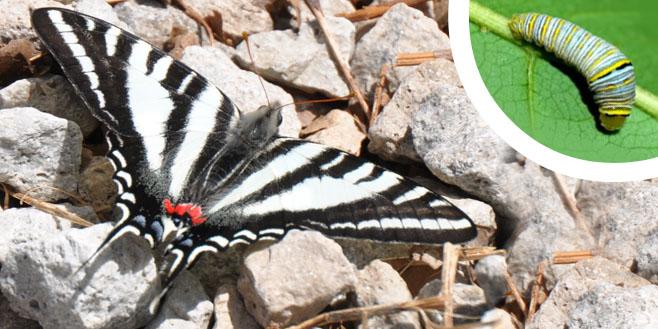 zebra swallowtail w