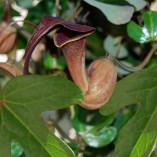 Aristolochia trilobata