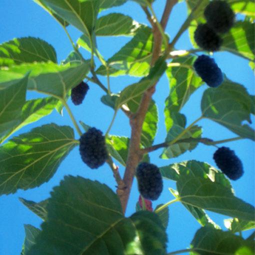 Issai Dwarf Mulberry