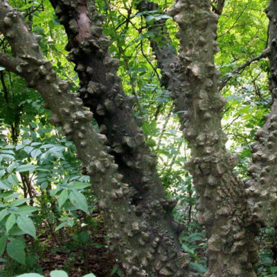 Toothache Tree