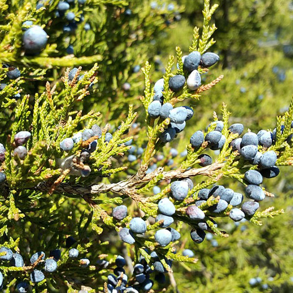 Eastern Red Cedar ~ Juniperus virginiana eastern redcedar vincent gardens