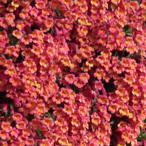 Tangerine Beauty Cross Vine