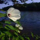 Hibiscus Crimsoneyed_Rosemallow 600x600