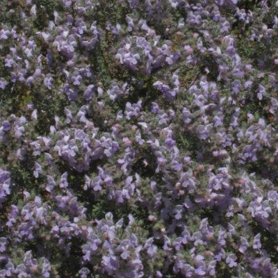 Conradina, Wild Rosemary