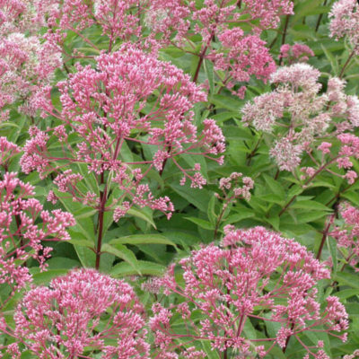 Eupatorium, Joe Pye Weed
