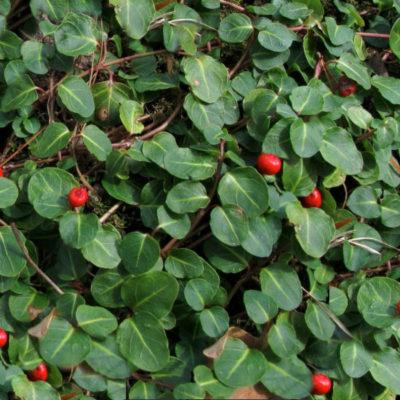 Mitchella, Partridgeberry