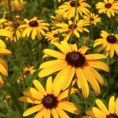 Rudbeckia, Blackeyed Susan