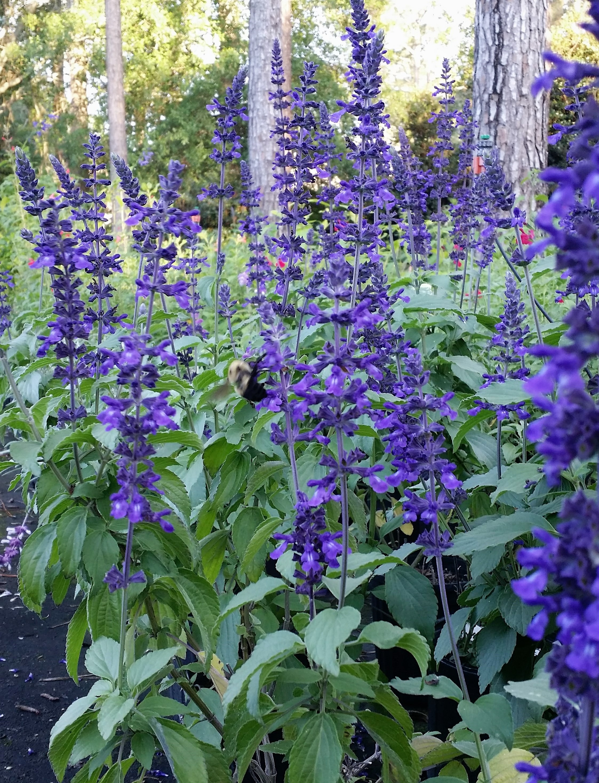 Salvia indigo spires vincent gardens salvia indigo spires izmirmasajfo Images